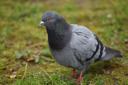 beak doves: A pigeon in the Park Stock Photo