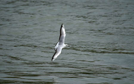 water wings: Seagull flying over water, with outstretched wings