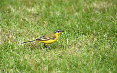 wagtail: Wagtail Giallo