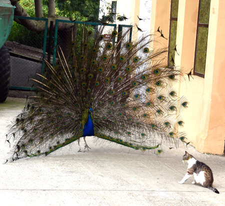 attacked: Peacock attacked the cat