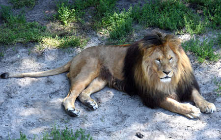 instincts: Lion at rest in the shade of the trees lying on the ground
