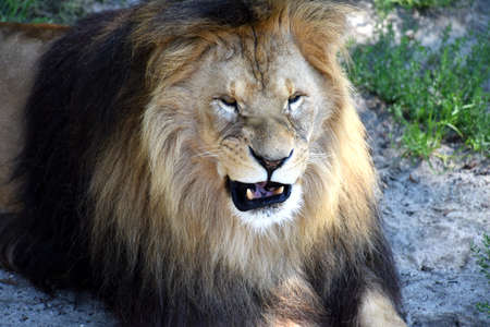 snarling: portrait of a snarling wild Lion