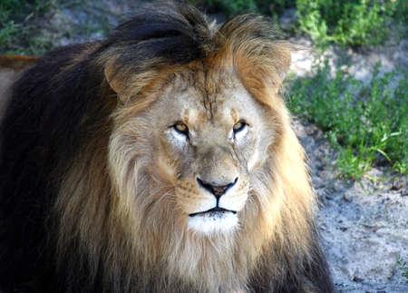 instincts: Portrait of beautiful wild adult Lion