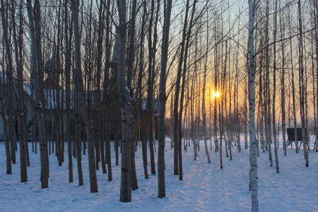 arboleda: Grove al atardecer de invierno