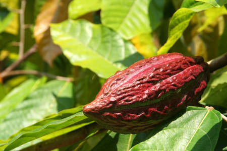 cocoa fruit growing in tropical forest indonesia photo