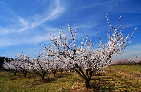 Blossoming cherry trees in orchard in France Stock Photo - 5021684