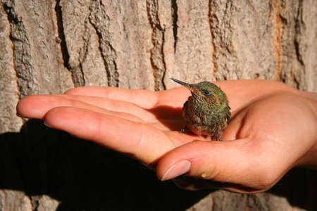 Little green hummingbird in a protective hand Stock Photo