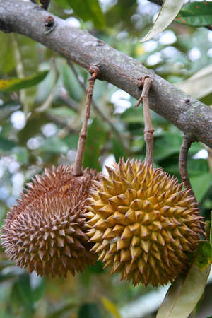 Durian friut growing on a tree indonesia photo