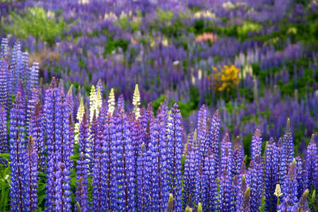 Lupin field blooming in spring in southern Chile photo