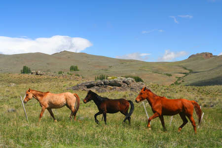 Three horses running through green argentinian pampa photo