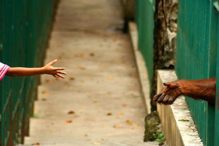 Child throwing nut to orangutan in the zoo Standard-Bild