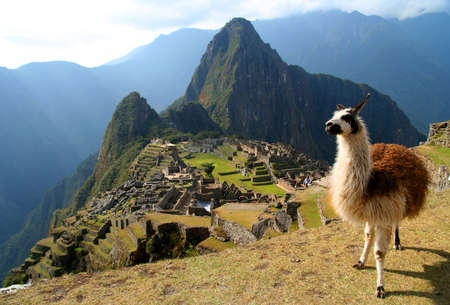 cusco: Llama in front of ancient inca town of Machu Picchu