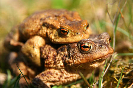 reproducing: Frogs in the mating season Stock Photo
