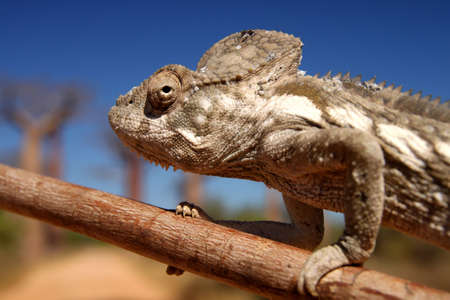 Small chameleon on a branch in Avenida de Baobab photo