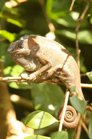 Small chameleon in the tropical madagascar rainforest Stock Photo - 8077136