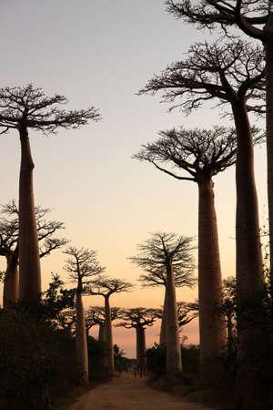 Avenida de Baobab near Morondava at sunset photo