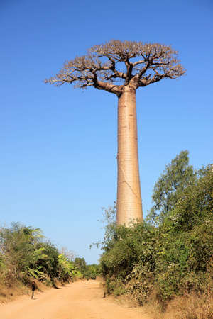 One of the huge baobabs in the Avenida de Baobab in Madagascar photo