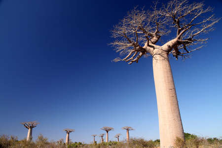 Group of baobabs near Morondava in Madagascar Stock Photo