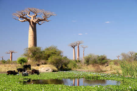 Small lake in front of the baobab tree photo