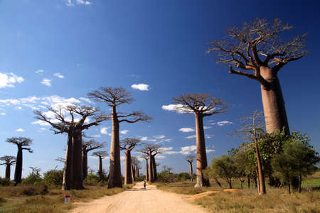 Famous Avenida de Baobab near Morondava in Madagascar Stock Photo