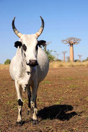 White zebu among the baobab trees in Madagascar photo