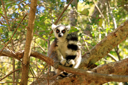 Ring-tailed lemur among dense bush in Anja Reserve Stock Photo - 8077284