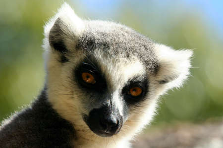 Close up of a ring-tailed lemur, Madagascar Stock Photo - 8077257