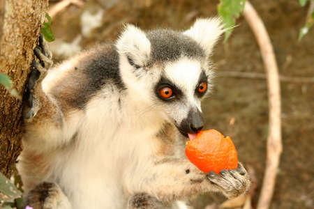Lemur eating mandarin snatched from tourist backpack Stock Photo - 8077275