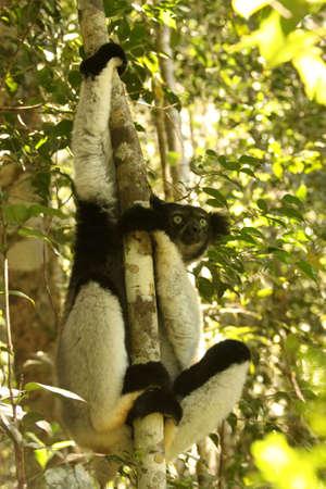 biggest: Indri &acirc,%uFFFD%uFFFD the biggest species of lemur, Madagascar