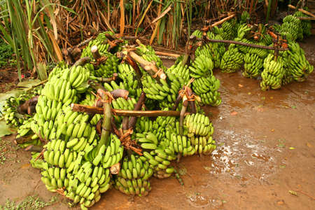 Big bunch of bananas on sale in the market