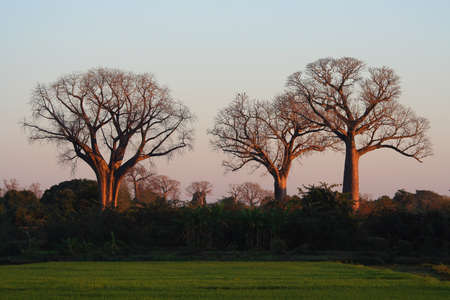 Three baobabs in the first rays of morning sun Stock Photo - 8544332