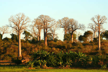 Baobab trees in the western part of Madagascar photo