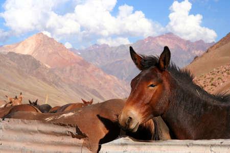 provisional: Brown caballo en un establo provisional en los Andes argentinos