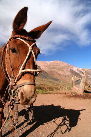 provisional: Head of a gaucho's horse in front of the provisional stable in the argentinian Andes