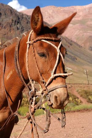 provisional: Cabeza de caballo del gaucho frente a la estabilidad provisional en la argentina Andes