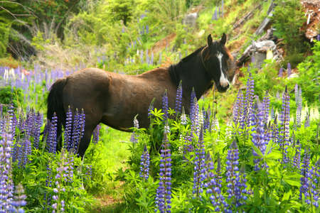 hooves: Cavallo in un campo lupino Carretera Austral in Cile