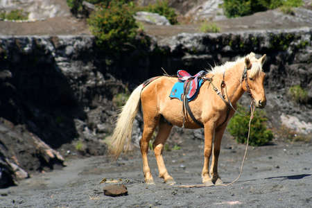 Horse waiting for tourists for a ride near crater of Gunung Bromo in Jawa, Indonesia photo