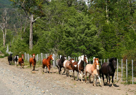 Wild horses running along the Carretera Austral in Patagonia, Chile