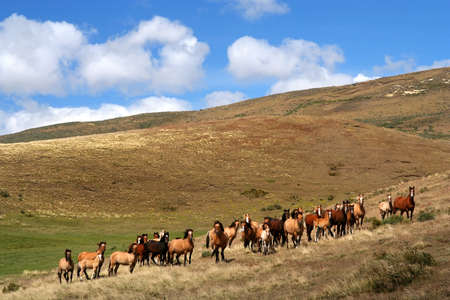 Large group of wild horses in the chilean Patagonia photo