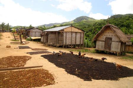 Koffiebonen drogen in kleine Malagasi dorp in Masoala National Park in Madagaskar op de route van Maroantsetra naar Antalaha