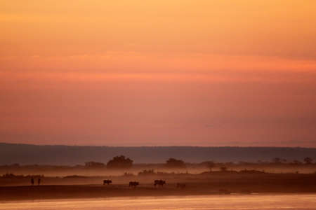 Cattle on the shore of Tsiribihina river in Madagascar at dusk photo