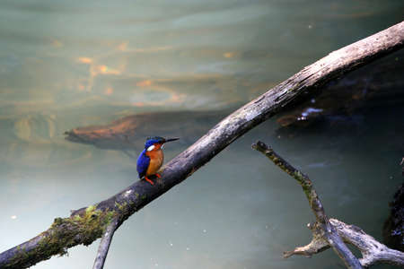 Small Madagascars Kingfisher in the Andasibe-Mantadia National Park, Madagascar photo