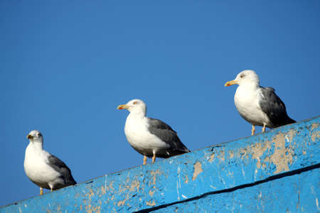 Seagulls on the Moroccan coast in the port of Essouira photo