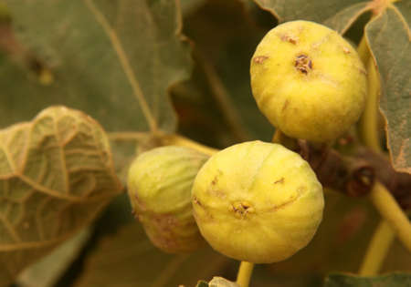 Fresh figs  growing on a tree, morocco photo
