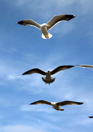 Seagulls in flight with the blue sky background Stock Photo - 13051733