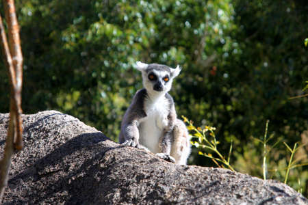 Ring-tailed lemur catching sun on the rock