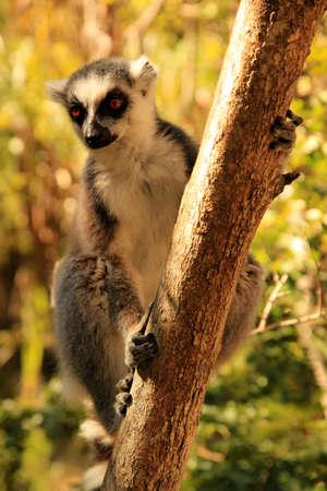 Ring-tailed lemur among dense bush in Anja Reserve