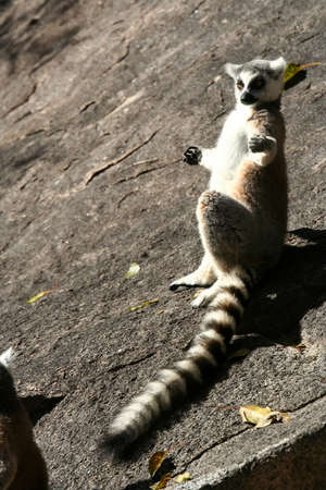 Ring-tailed lemur catching sun on the rock Stock Photo - 13174411