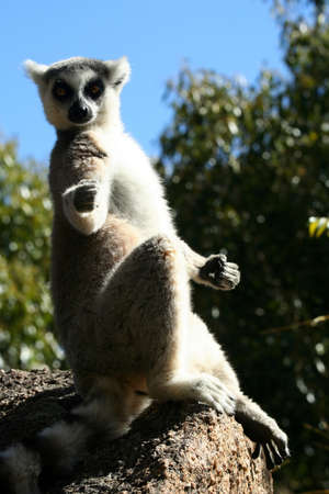 animal private: Ring-tailed lemur catching sun on the rock