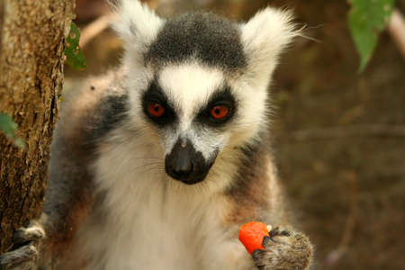 Lemur eating mandarin snatched from tourist backpack Stock Photo - 13174410